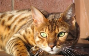 Grown Bengal Cat wallpaper