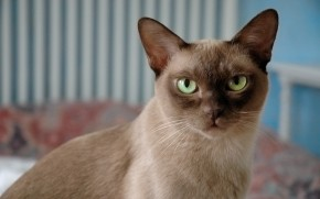 British Burmese Cat wallpaper