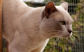 Grown British Burmese Cat wallpaper