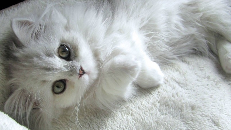 Turkish Angora Kitten wallpaper