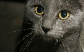 Russian Blue Cat Close Up wallpaper