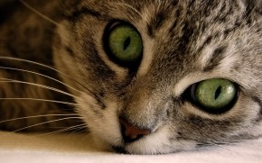 Green Eye Manx Cat wallpaper