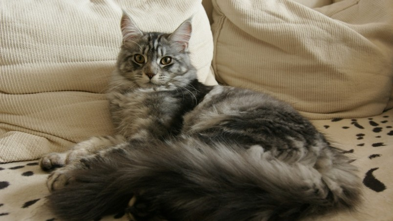Maine Coon Cat Chilling wallpaper
