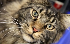 Maine Coon Close Up wallpaper