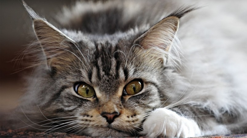 Adorable Maine Coon Cat wallpaper