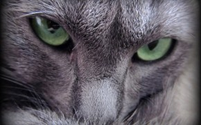 Russian Blue Cat Evil Look wallpaper