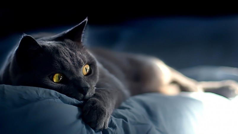 Russian Blue Cat Laying Down on Bed wallpaper