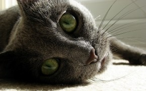 Russian Blue Close Up wallpaper