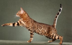 Beautiful Savannah Cat wallpaper