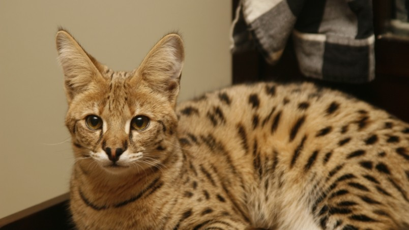Cute Savannah Cat wallpaper