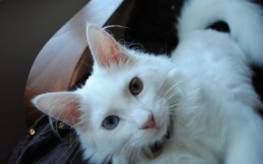 White Turkish Agora Cat with Odd Eyes wallpaper