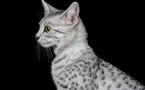 Egyptian Mau Cat Profile Look wallpaper