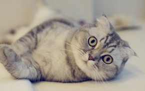 Cute Scottish Fold Cat  wallpaper
