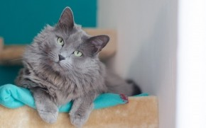 Beautiful Nebelung Cat wallpaper