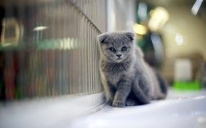 Sad Gray Scottish Fold Cat wallpaper
