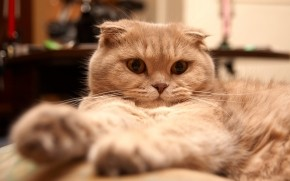 Tired Scottish Fold Cat wallpaper