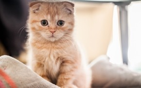 Small Red Scottish Fold Cat wallpaper