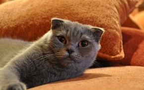 Gorgeous Scottish Fold Cat wallpaper
