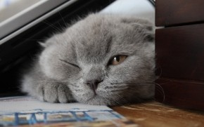 Little Scottish Fold Cat wallpaper