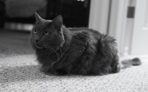 Monochrome Nebelung Cat wallpaper