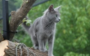 Nebelung Cat on Stump wallpaper