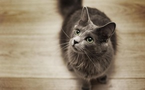 Nebelung Cat on the Floor wallpaper