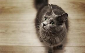 Nebelung Cat on the Floor