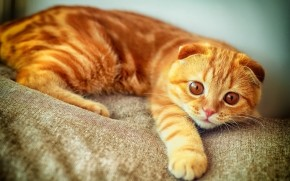 Orange Scottish Fold Cat wallpaper