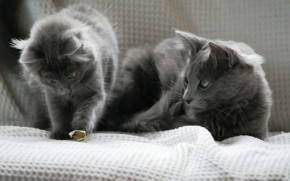 Beautiful Pair of Nebelung Cats wallpaper