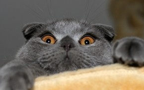 Playful Scottish Fold Cat wallpaper