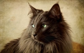 Portrait of Black Nebelung Cat wallpaper