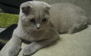 Alert Scottish Fold Cat