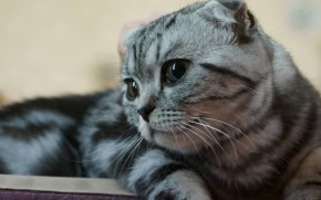 Scottish Fold Kitty wallpaper