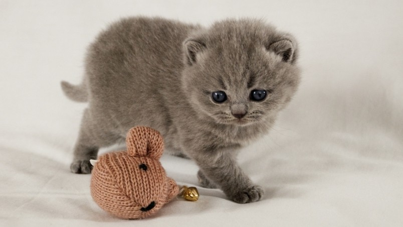 Scottish Fold Kitten wallpaper
