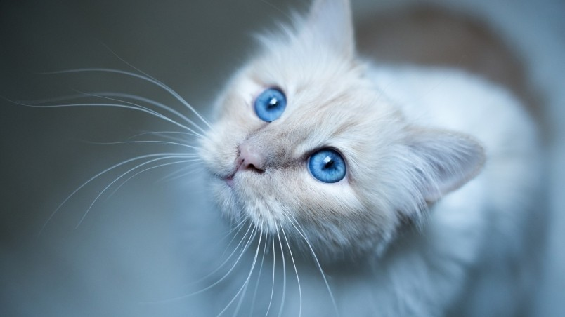 Kitty Blue Eyes Wallpaper
