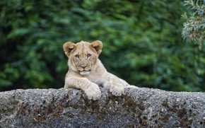 Young Cute Lion