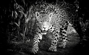 Black and White Jaguar wallpaper
