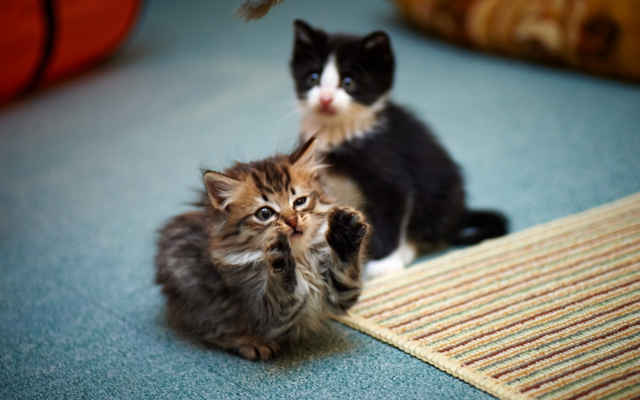 2 Cute Kitties for 1280 x 800 widescreen resolution