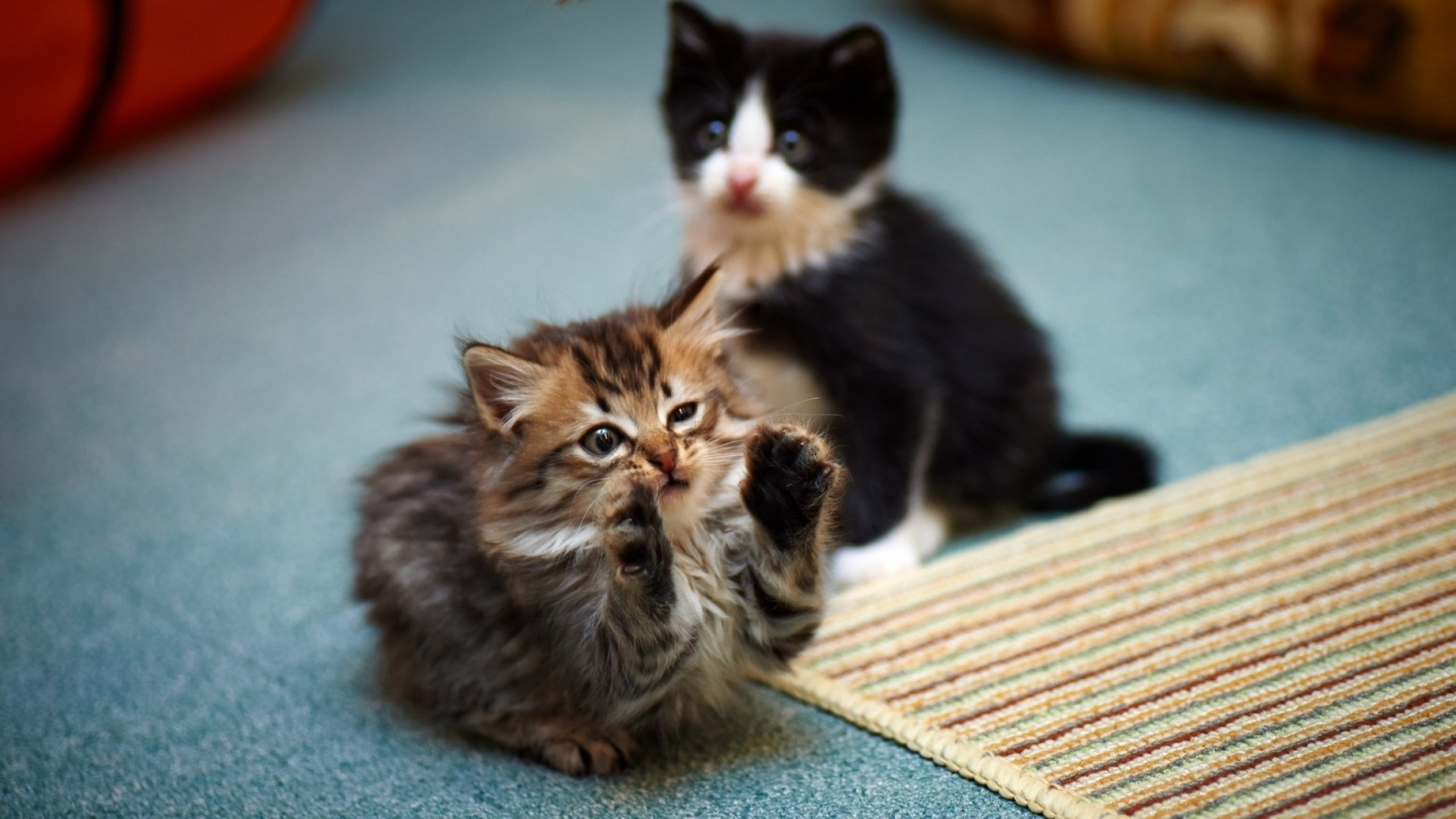 2 Cute Kitties for 1536 x 864 HDTV resolution