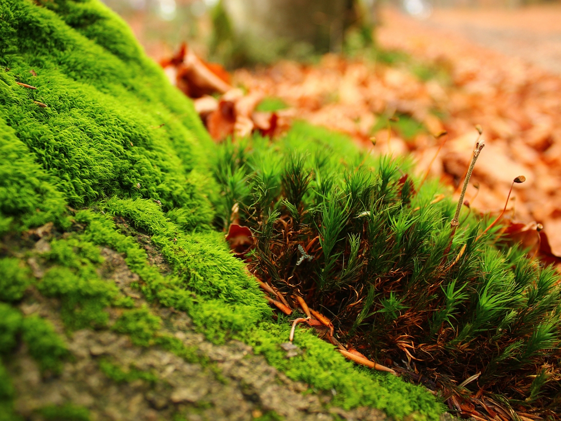 Amazing Moss for 1152 x 864 resolution