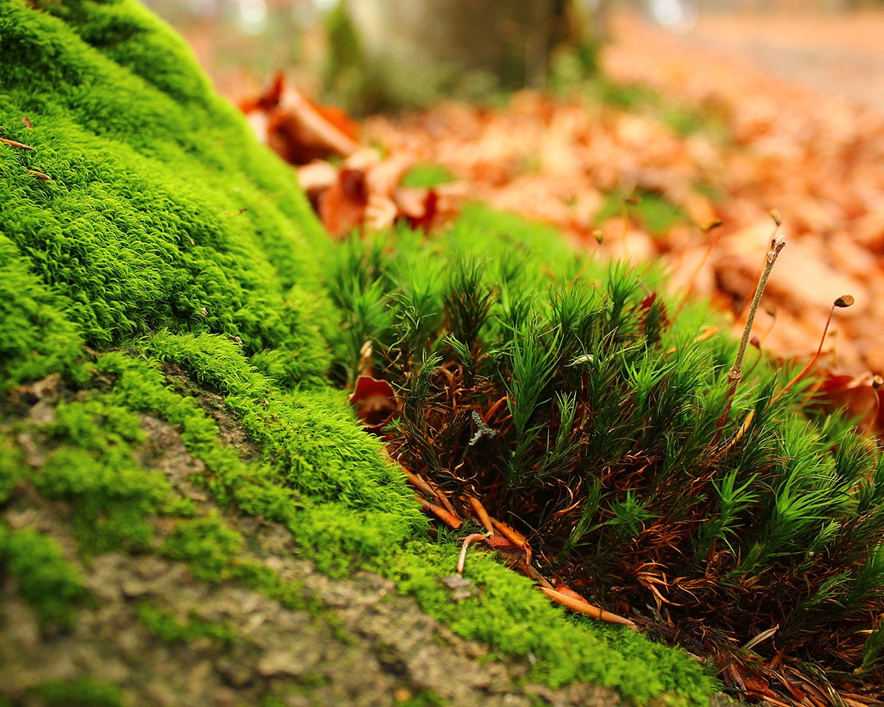 Amazing Moss for 1280 x 1024 resolution