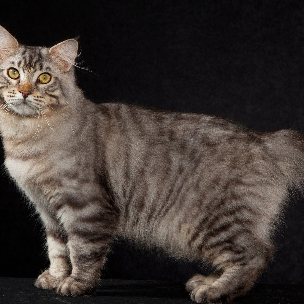 American Bobtail Cat Pose for 1024 x 1024 iPad resolution