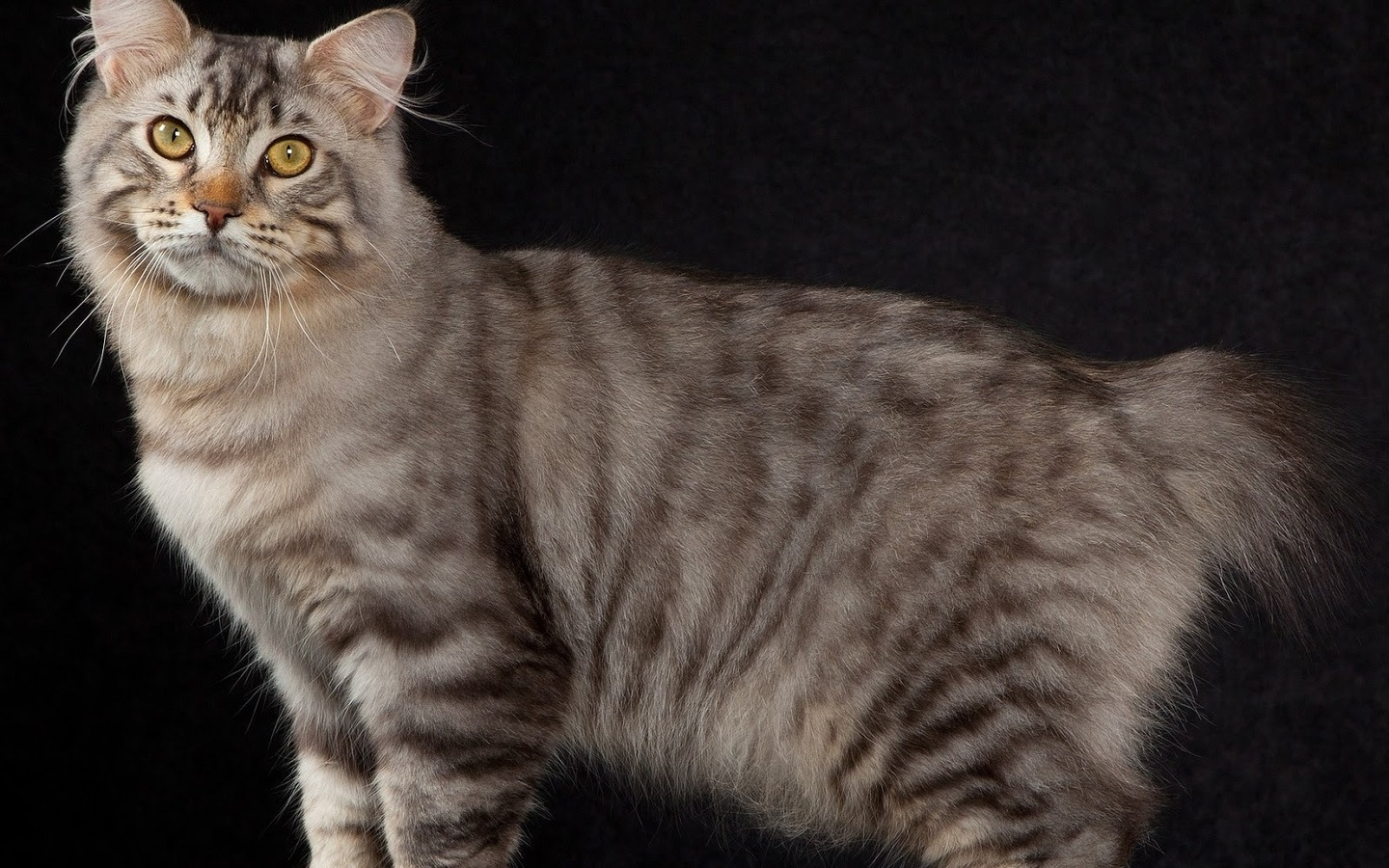American Bobtail Cat Pose for 1440 x 900 widescreen resolution