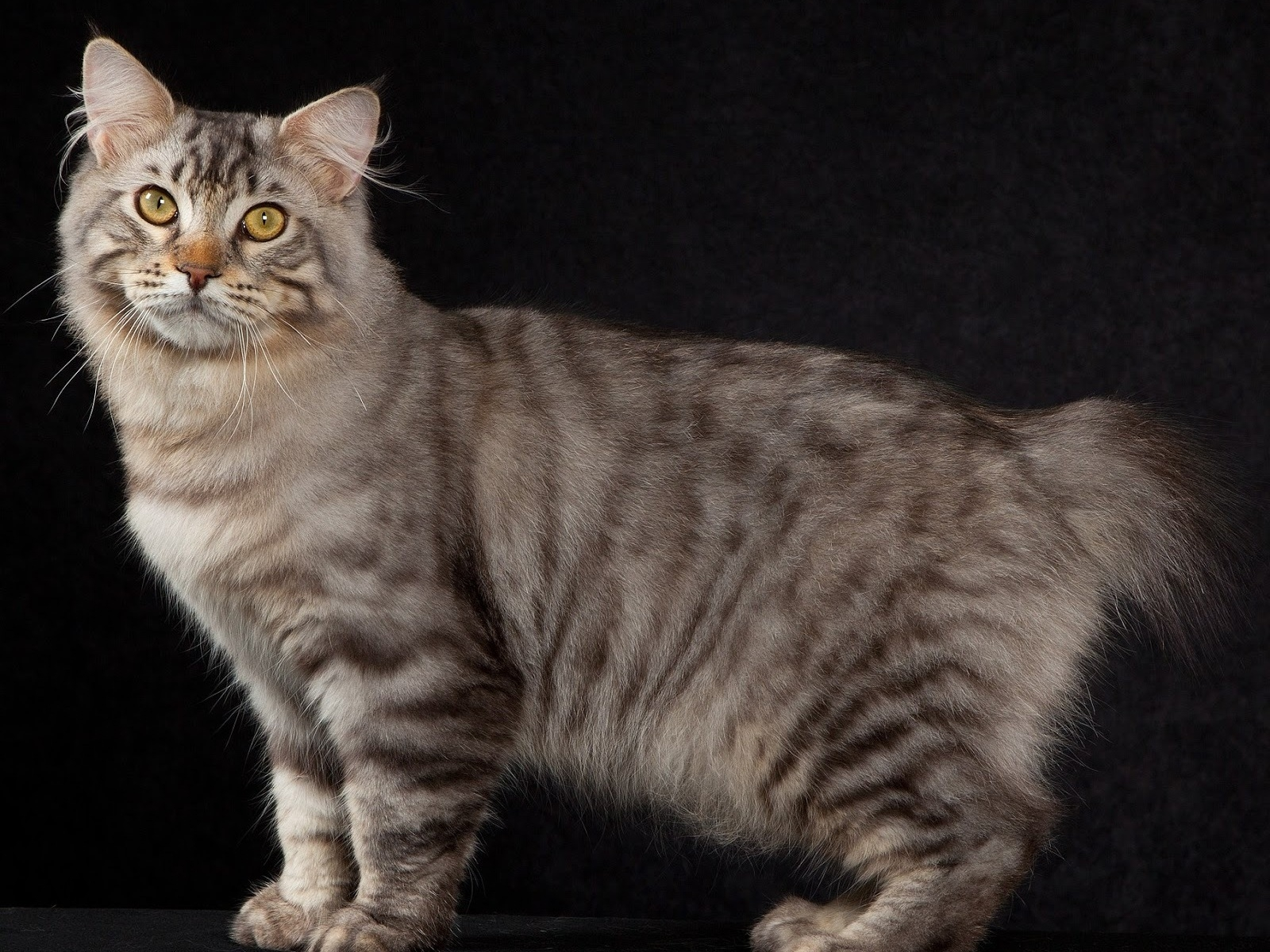 American Bobtail Cat Pose for 1600 x 1200 resolution