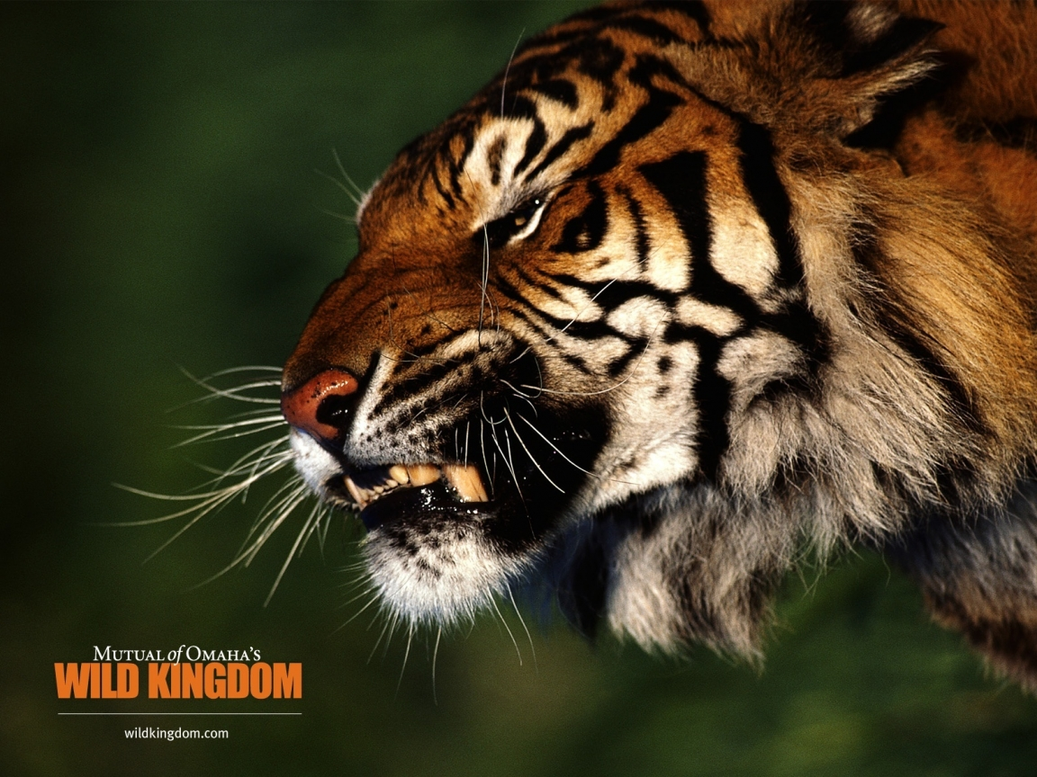 Angry Tiger 1152 X 864 Wallpaper