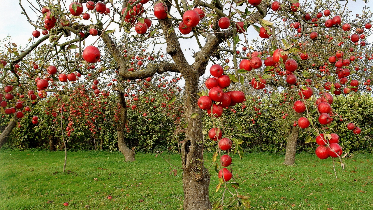 Autumn Red Apples for 1280 x 720 HDTV 720p resolution