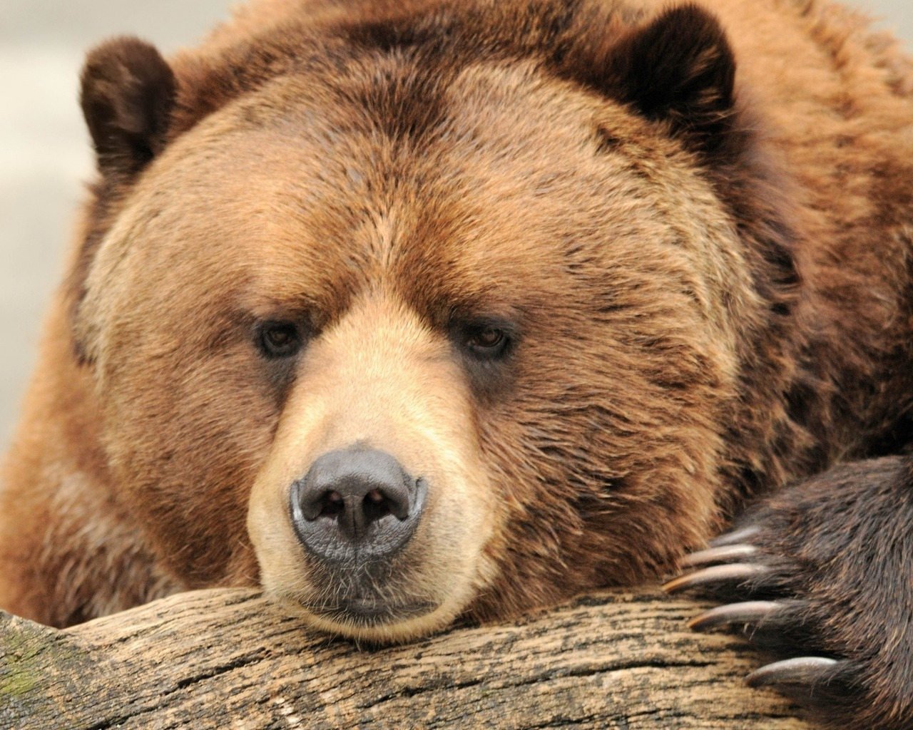 Beautiful Big Brown Bear for 1280 x 1024 resolution