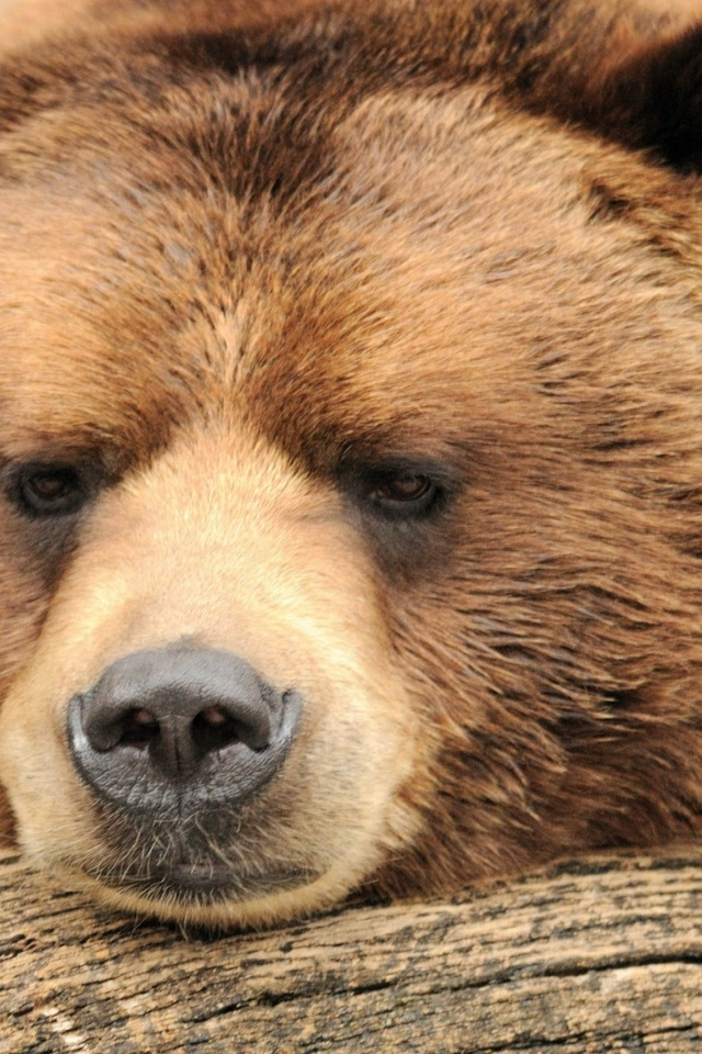 Beautiful Big Brown Bear for 640 x 960 iPhone 4 resolution