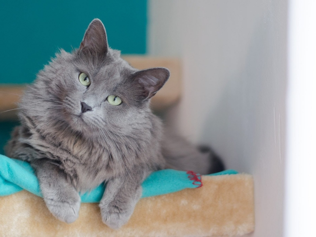 Beautiful Nebelung Cat for 1024 x 768 resolution