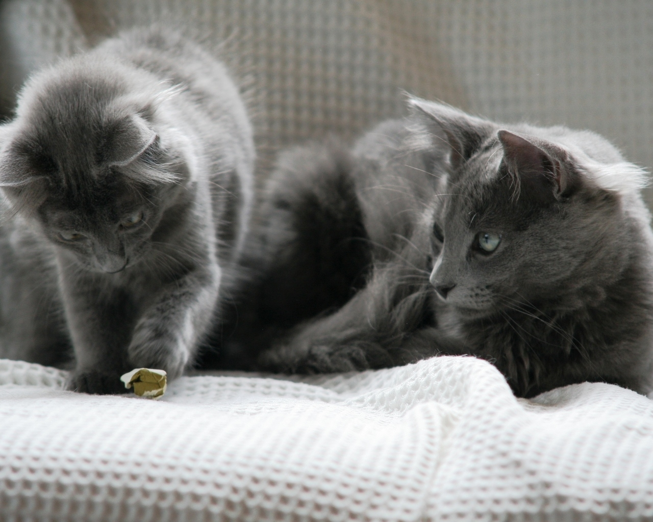Beautiful Pair of Nebelung Cats for 1280 x 1024 resolution